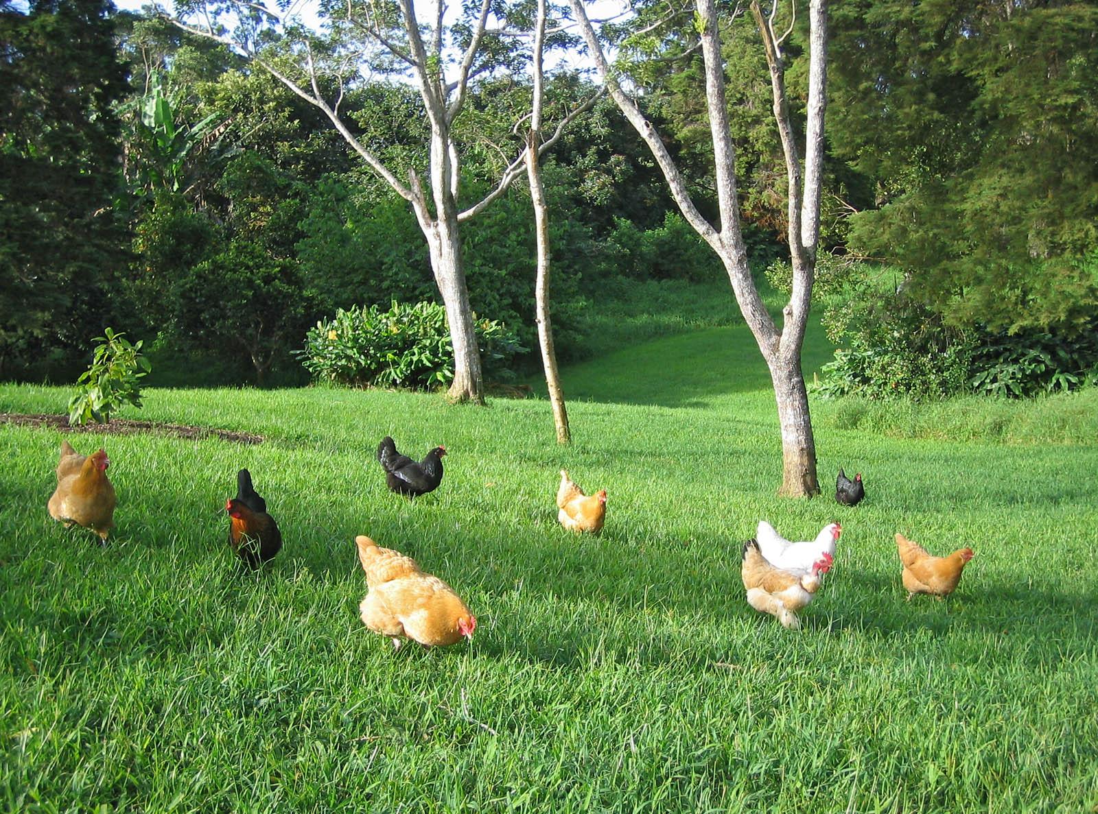 Ahualoa Egg Farm